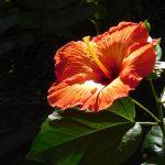 Beautiful_Red_Hibiscus